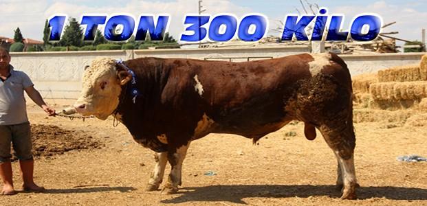 1 Ton 300 Kilogramlık 'Paşa' Alıcısını Bekliyor