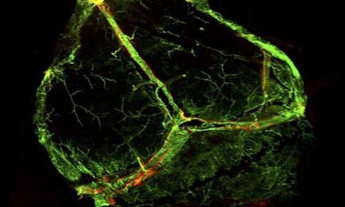 Beyinde lenf damarları bulundu