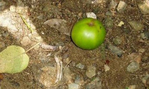 Dünyanın en ölümcül ağacı