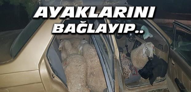 Koyunları Ayaklarına Bağlayarak Araca Yükledi-Yakalandı