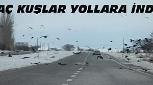 Aç Kalan Kuş Sürüleri Yollara İndi