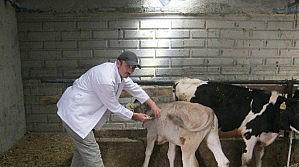 Beyşehir'de Büyükbaş Hayvanlara Şap Aşısı