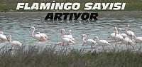Düden Gölünde Flamingo Sayısı Artıyor