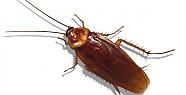 Hamam Böceğinden Mucize Şurup