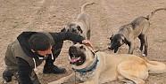 İş Adamı Kangal Köpeğine 72 Bin TL Verdi