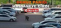 Konya'da Domuz Hastaneye Daldı-VİDEO