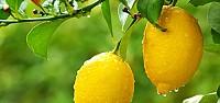 Limon Fiyatları Uçtu