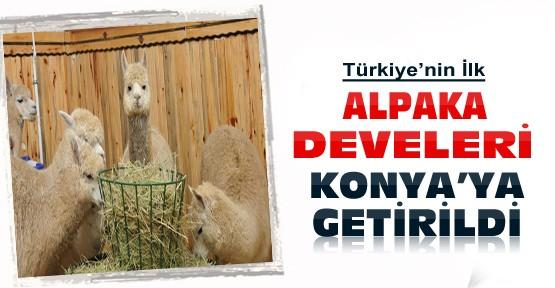 Türkiye'nin ilk Alpaka Develeri Avustralya'dan Konya'ya getirildi
