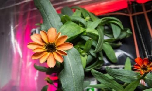 Uzayda çiçek yetiştirildi