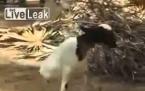 2 Bacaklı Keçi Görenleri Şşaırtıyor